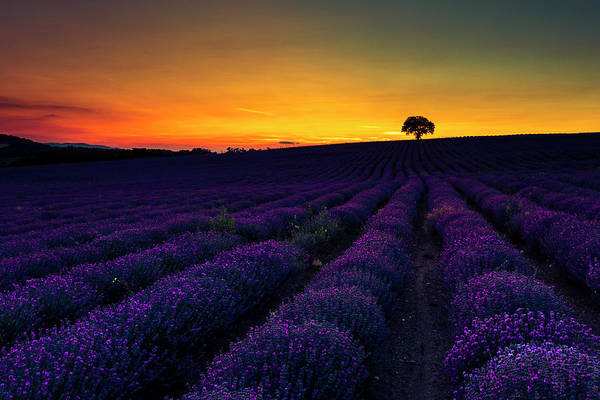 Photograph - Lavender Land by Evgeni Dinev