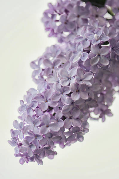 Rockville Photograph - Lavender Lilac In Bloom by Maria Mosolova