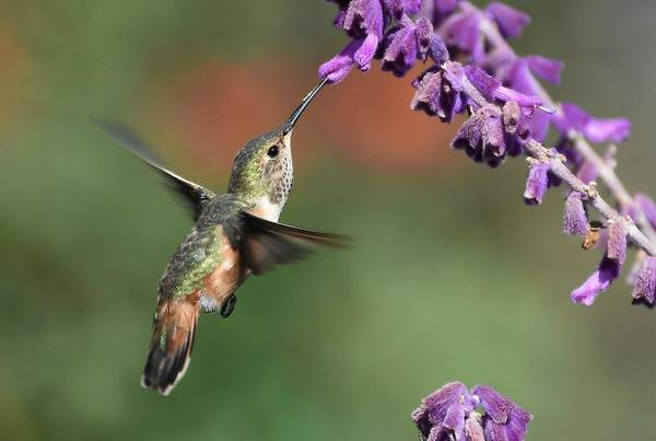 Photograph - Lavender Lover 2 by Fraida Gutovich