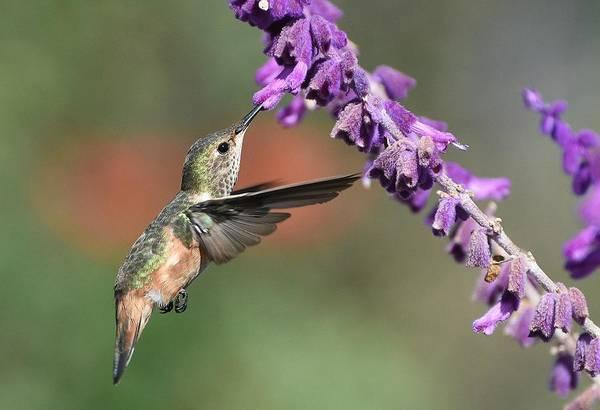 Photograph - Lavender Lover 3 by Fraida Gutovich