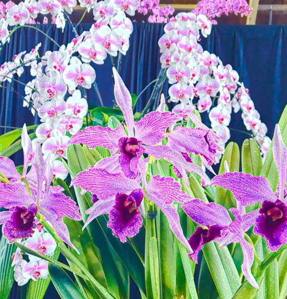Photograph - Lavender  Orchid Aloha  by Joalene Young