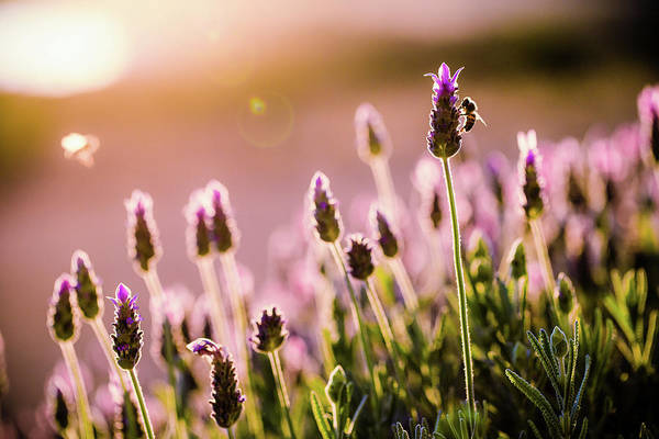 Photograph - Lavender Sunrise by Nicole Young