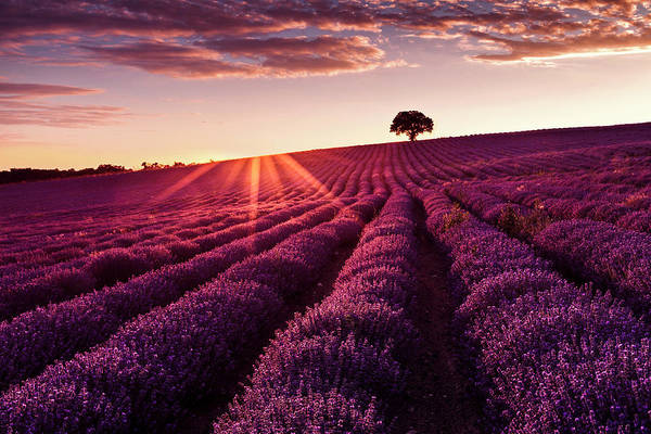 Photograph - Lavender Tree by Evgeni Dinev