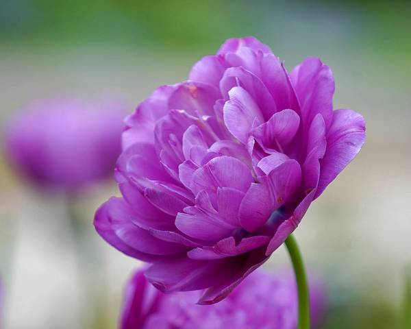 Lavender Tulip Art Print