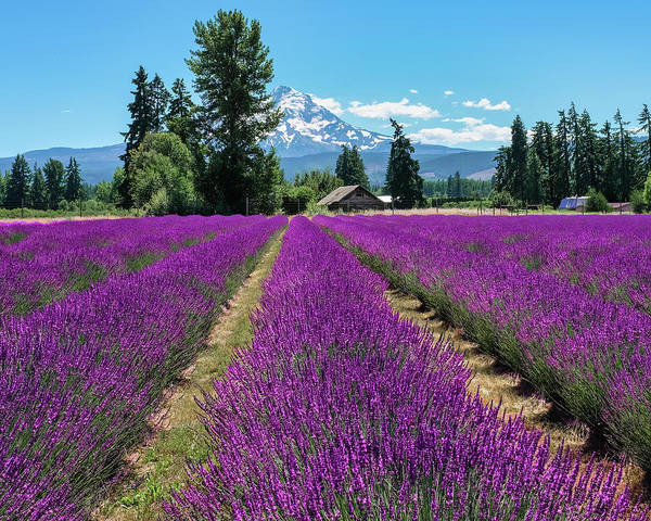 Photograph - Lavender Valley Farm by Robert Bellomy