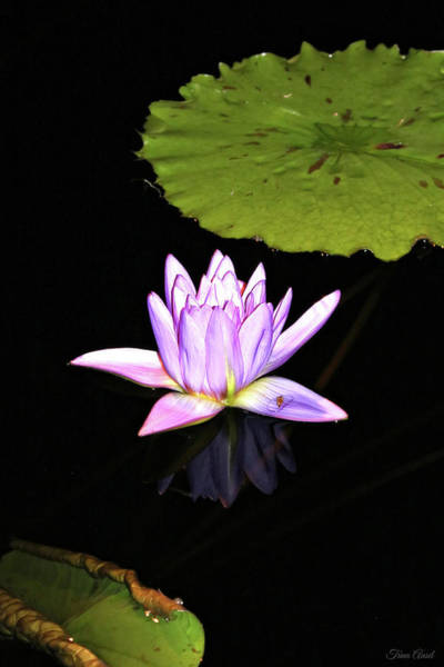 Wall Art - Photograph - Lavender Water Lily With Reflection by Trina Ansel