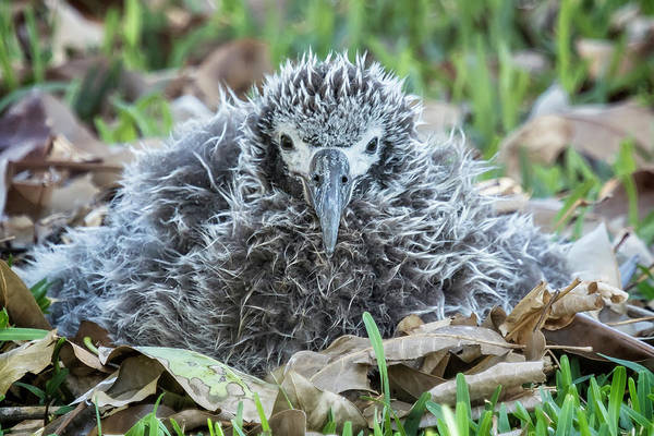Photograph - Laysan Albatross Chick, No. 1 by Belinda Greb