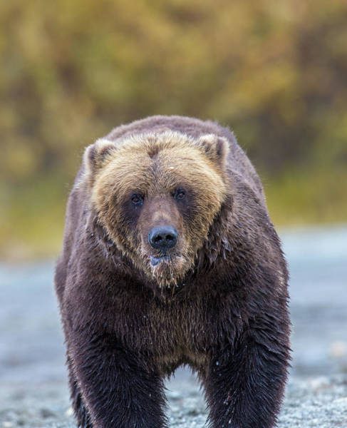 Photograph - Lazy C Angry Bear  by Kevin Dietrich