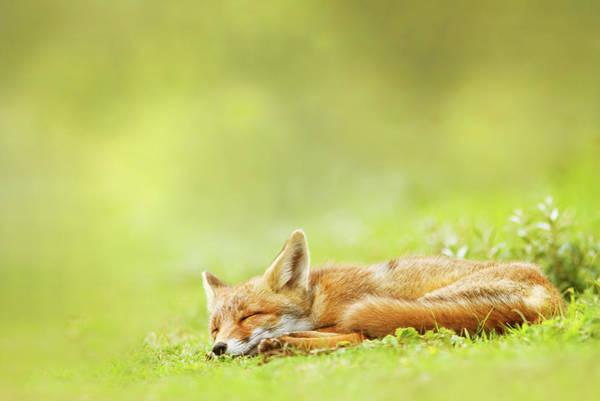 Wall Art - Photograph - Lazy Fox Series - Foxy Dreams by Roeselien Raimond