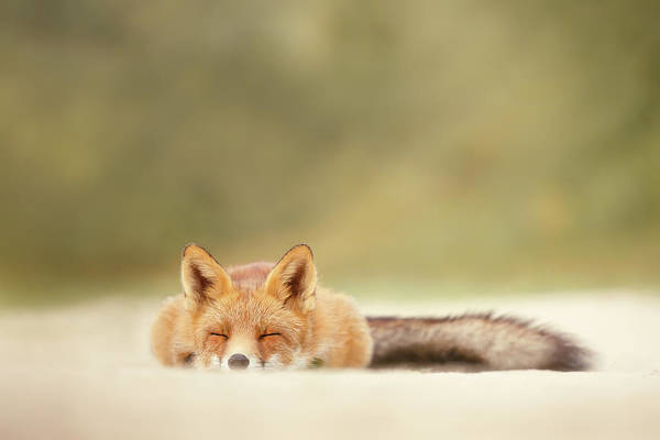 Chilling Photograph - Lazy Fox Series - Sleepy Fox Is Sleepy by Roeselien Raimond