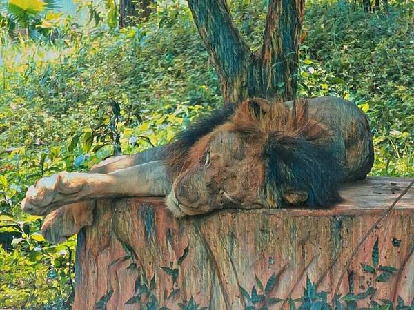 Photograph - Lazy Lion by AE collections