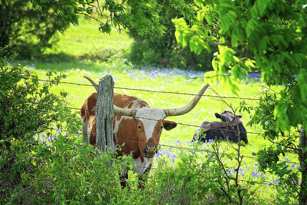 Photograph - Lazy Longhorn Day In The Country by Lynn Bauer