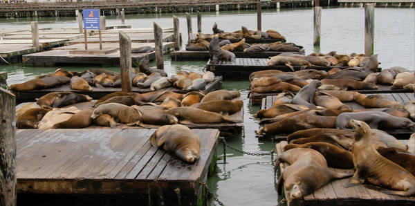Photograph - Lazy Sea Lions - Pier 39 San Francisco by Bill Cannon