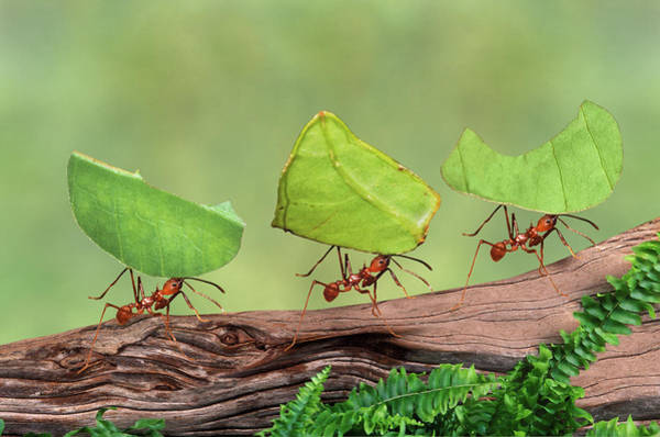 Leaf Photograph - Leaf Cutter Ants Atta Cephalotes by Gail Shumway