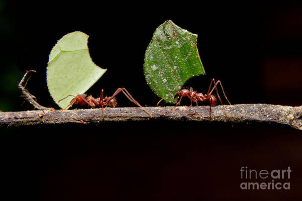Wall Art - Photograph - Leaf Cutter Ants, Carrying Leaf, Black by Fotos593