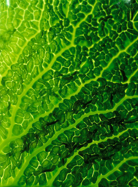 Wall Art - Photograph - Leaf Detail Of Savoy Cabbage by James A. Guilliam