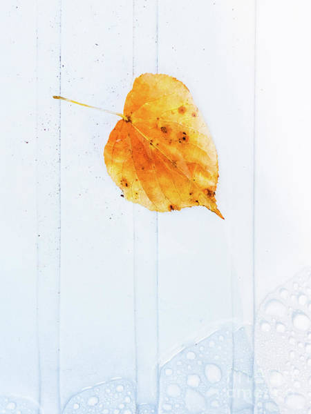 Wall Art - Photograph - Leaf On White With Water by Silvia Ganora