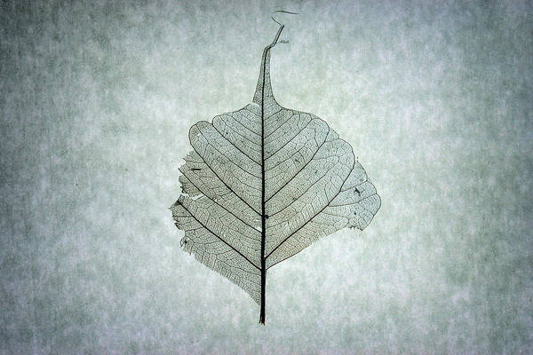 Photograph - Leaf Series One Of Three by Christopher Johnson