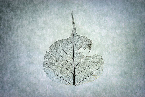 Photograph - Leaf Series Three Of Three by Christopher Johnson