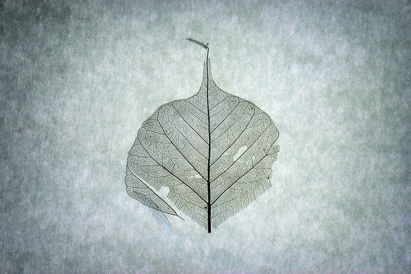 Photograph - Leaf Series Two Of Three by Christopher Johnson