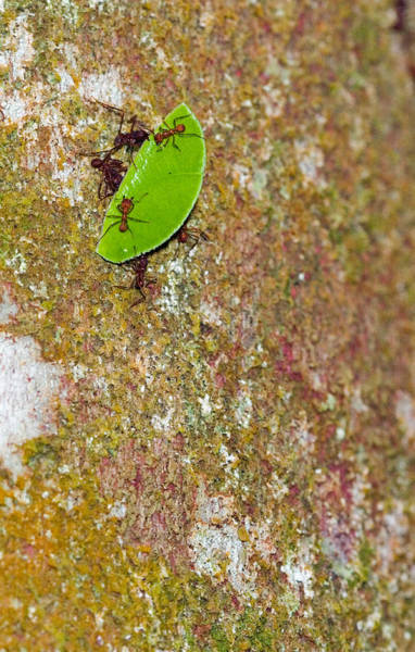Wall Art - Photograph - Leafcutter Ants Atta Sp. Carrying Leaf by Michael Lustbader