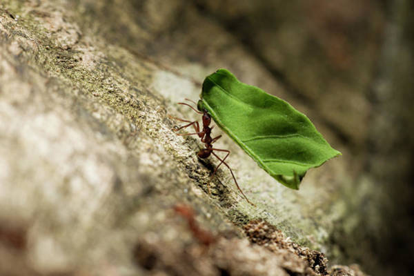 Leaf Photograph - Leafcutter Ants, Costa Rica by Paul Souders
