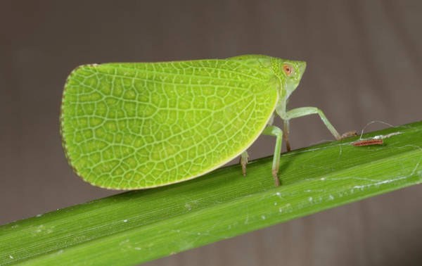Photograph - Leafhopper_8181701 by Rick Veldman