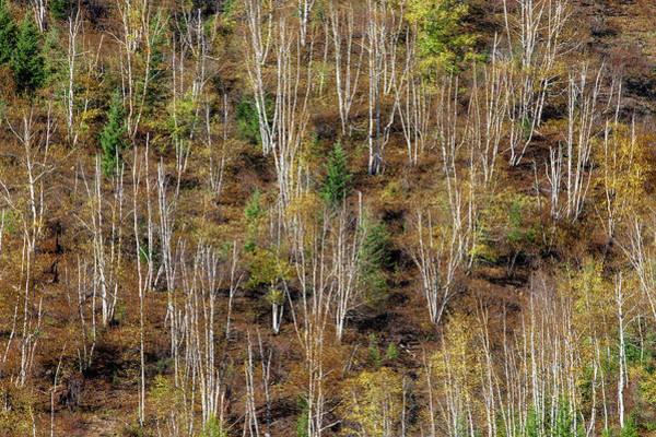 Photograph - Leafless Aspens by Todd Klassy