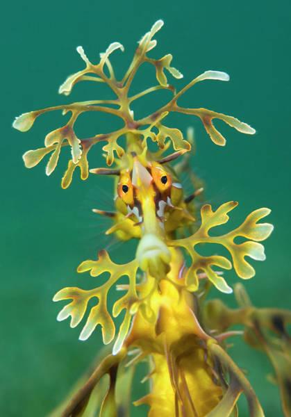 Seadragon Photograph - Leafy Seadragon, Edithburgh, Yorke Peninsula, South Australia by Alex Mustard / Naturepl.com
