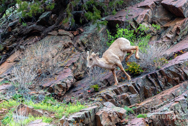 Photograph - Leaping Bighorn Sheep At Play by Steve Krull