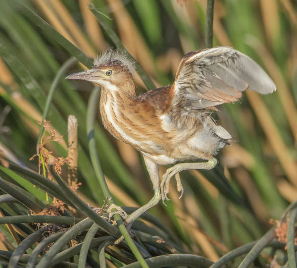 Photograph - Least Bittern 0986-070319 by Tam Ryan