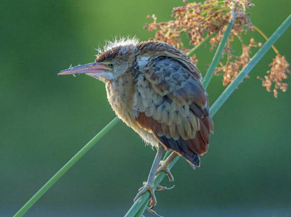 Photograph - Least Bittern 1569-070619 by Tam Ryan