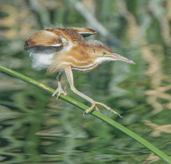 Photograph - Least Bittern 1932-070619 by Tam Ryan