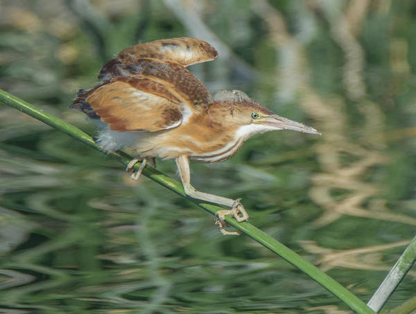 Photograph - Least Bittern 1934-070619 by Tam Ryan