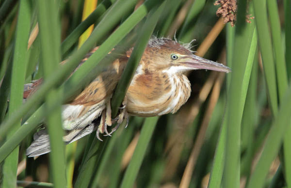 Photograph - Least Bittern 2067-070719 by Tam Ryan