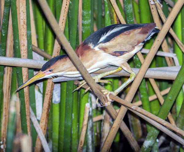 Photograph - Least Bittern 8906-042819 by Tam Ryan
