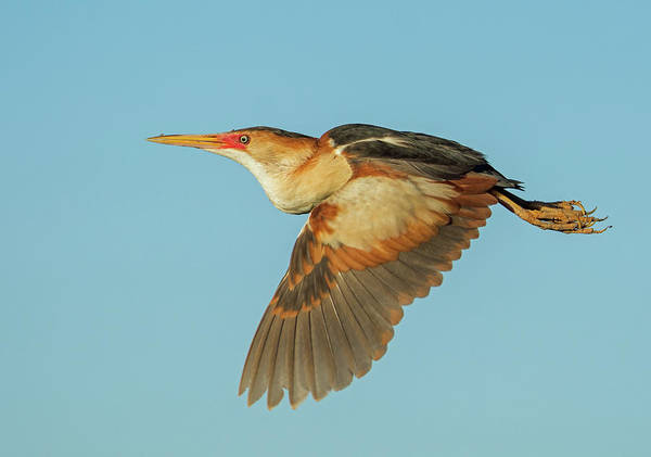 Photograph - Least Bittern Adult 1604-070619 by Tam Ryan