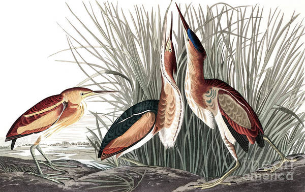 Painting - Least Bittern, Ixobrychus Exilis By Audubon by John James Audubon