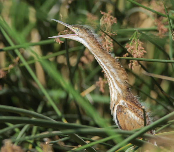 Photograph - Least Bittern Juvenile 0938-070219 by Tam Ryan