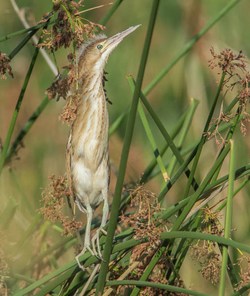 Photograph - Least Bittern Juvenile 1050-070319 by Tam Ryan