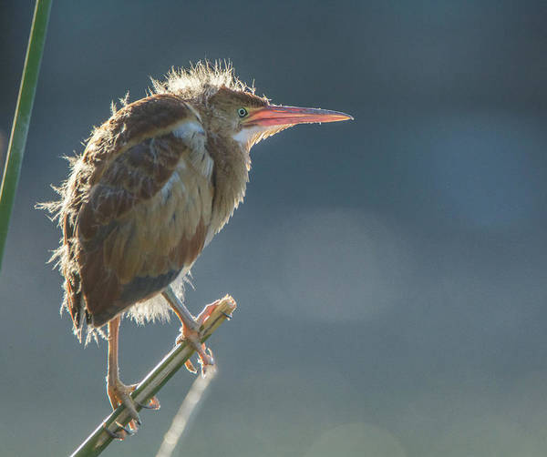 Photograph - Least Bittern Juvenile 1434-070519 by Tam Ryan