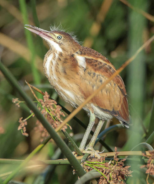Photograph - Least Bittern Juvenile 1724-070619 by Tam Ryan