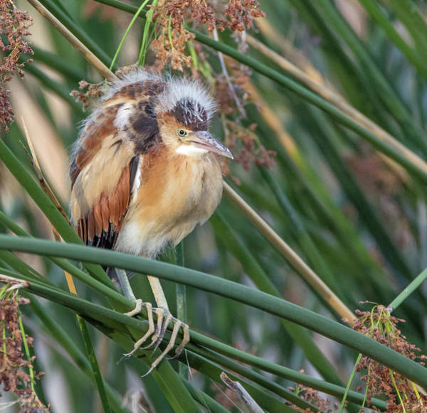 Photograph - Least Bittern Juvenile 1987-070719 by Tam Ryan