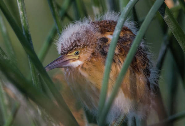 Photograph - Least Bittern Juvenile 9412-062619 by Tam Ryan