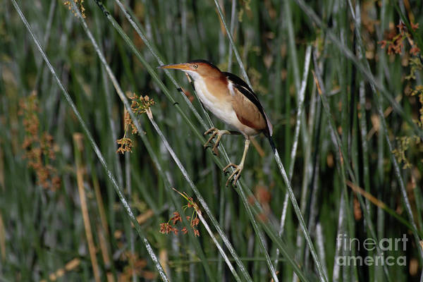 Wall Art - Photograph - Least Bittern  by Ruth Jolly