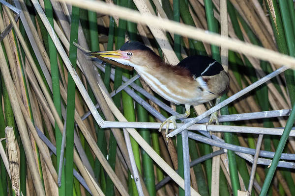 Photograph - Least Bittern With Nesting Material 8438-042619-1cr by Tam Ryan