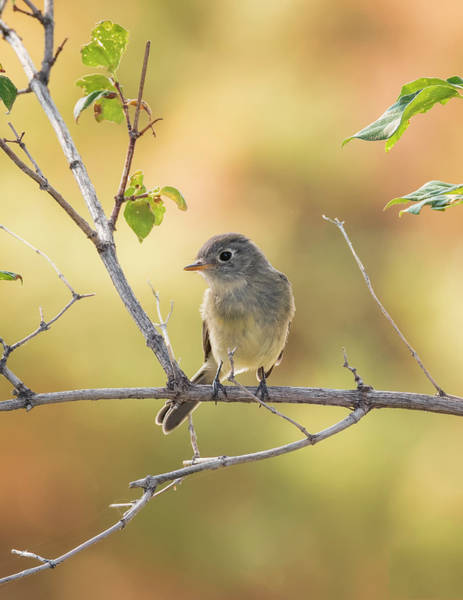 Wall Art - Photograph - Least Flycatcher by Loree Johnson