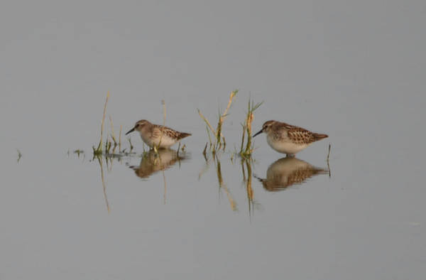 Wall Art - Photograph - Least Sandpipers by Whispering Peaks Photography