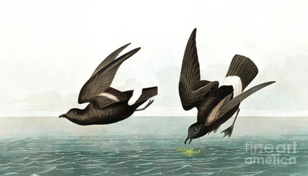 Wall Art - Painting - Least Stormy Petrel, Thalassidroma Pelagica By Audubon by John James Audubon