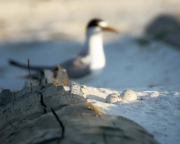 Photograph - Least Tern Eggs by Susan Rissi Tregoning